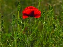 Free Poppy. Shallow Dof. Stock Photos - 13875303