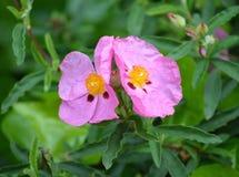 Poppy Side By Side rosada Imagenes de archivo