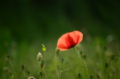 Poppy. A single poppy in a field Royalty Free Stock Photos