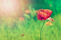 Poppy. Single poppy in a green field royalty free stock image