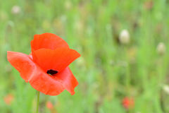 A poppy. A single red poppy  from a field in Dorset UK Royalty Free Stock Photography