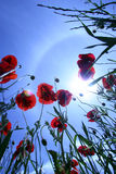 Poppy and sky. Poppys from an insects view royalty free stock image