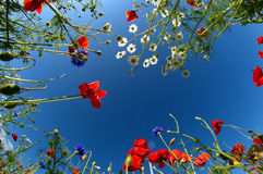 Poppy sky Stock Image