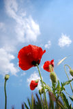POPPY AND SKY. Poppys from an insects view stock photos