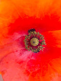 Poppy in spring closeup Stock Image