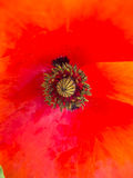 Poppy in spring closeup Royalty Free Stock Photography