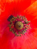 Poppy in spring closeup Royalty Free Stock Photos
