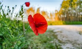 Poppy. The Spring poppy in the field Stock Photography