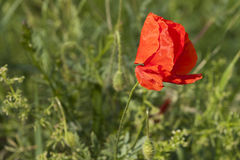 Poppy in spring Royalty Free Stock Photos