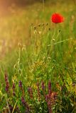 Poppy. On a spring meadow Stock Images