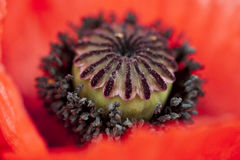 Poppy Stigma Disk Royalty Free Stock Photos