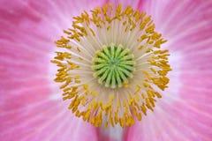 Poppy Stigma Mandala Stockbilder