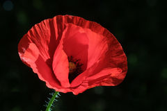Poppy style. Poppy against black background Royalty Free Stock Photo
