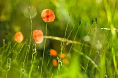 Poppy in the summer Royalty Free Stock Photos