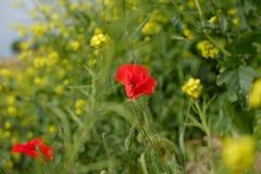 Poppy Summer Field fotografía de archivo libre de regalías