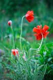 Poppy. Summer flower grass garden Stock Photos