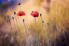 Poppy Royalty Free Stock Photography