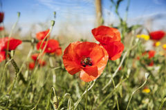 Poppy in a summer meadow Royalty Free Stock Image