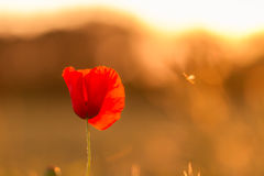 Poppy Summer. Picture of a poppy plant in june Royalty Free Stock Photos
