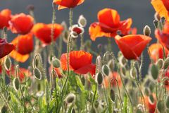 Poppy in the sun Stock Images