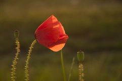 Poppy in sunlight Royalty Free Stock Photos