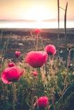 Poppy sunrise in effect stock image