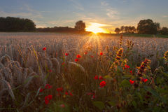 Poppy Sunset Royalty Free Stock Images