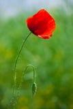 Poppy in sunset light Royalty Free Stock Photo
