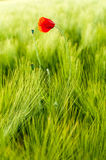 Poppy surrounded by green grass. This is a shot of a poppy flower with lots of grass surrounding it Royalty Free Stock Photography