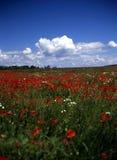 poppy terenowym wiosny Zdjęcia Royalty Free