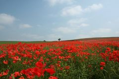 Poppy theme. Stunning red poppy field in England Stock Photos