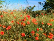 Poppy Thicket in the Sun. French countryside painted in red. Early summer has arrived and the countryside in Provence is donning its red dress. Its a symphony in stock photo