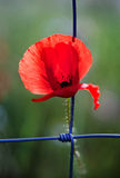 Poppy Trapped Royalty Free Stock Photography