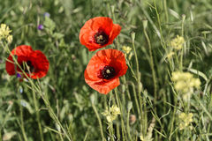 Poppy trio on grewen field Royalty Free Stock Photography