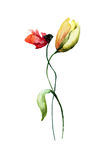 Poppy and Tulips flowers. Poppy and Tulip flowers, watercolour illustration Stock Images