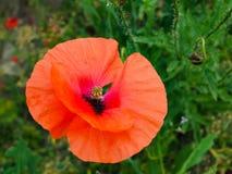 poppy uma planta herb?cea com flores vistosos, seiva leitosa, e as c?psulas arredondadas da semente drogas tais como a morfina e  foto de stock