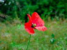 poppy uma planta herb?cea com flores vistosos, seiva leitosa, e as c?psulas arredondadas da semente drogas tais como a morfina e  imagens de stock royalty free