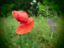 poppy uma planta herb?cea com flores vistosos, seiva leitosa, e as c?psulas arredondadas da semente drogas tais como a morfina e  imagem de stock