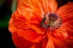 Poppy With una abeja Fotografía de archivo libre de regalías