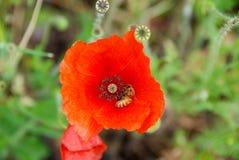 Poppy With una abeja Imágenes de archivo libres de regalías