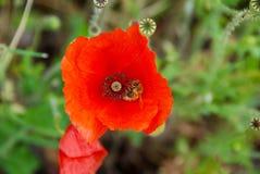 Poppy With una abeja Fotografía de archivo