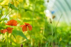 Poppy under a greenhouse. In the summer Stock Image