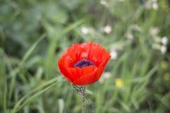 Poppy With une abeille photo stock