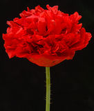 Poppy variant. royalty free stock image