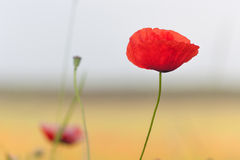 Poppy. The very first one came out into this world Stock Images