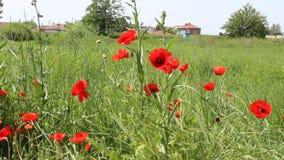 Poppy. The poppy video was filmid in bulgaria jambol stock video