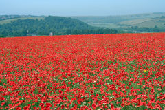 Poppy view. A field of poppies in sussex England. Poppy field. Red poppies Royalty Free Stock Photo