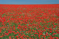 Poppy view. Royalty Free Stock Photography