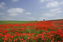 The Poppy View. A gorgeous poppy field Stock Photos