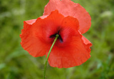 Poppy VIII. Poppy on a green meadow Royalty Free Stock Photography